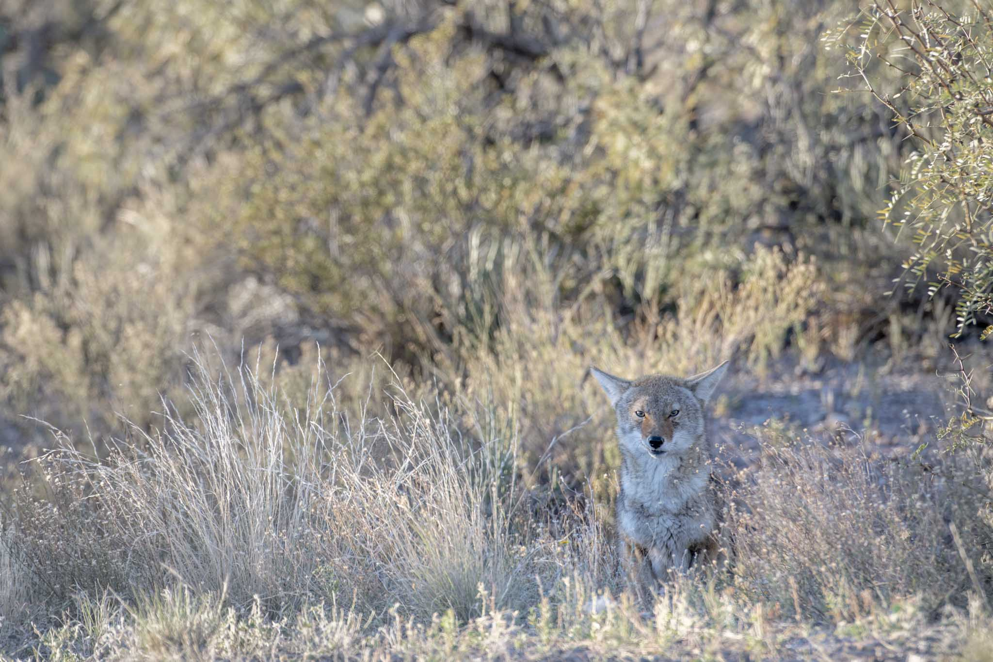 coyote en el desierto del parque nacional big bend en texas fotografia de naturaleza de Pablo Fregoso